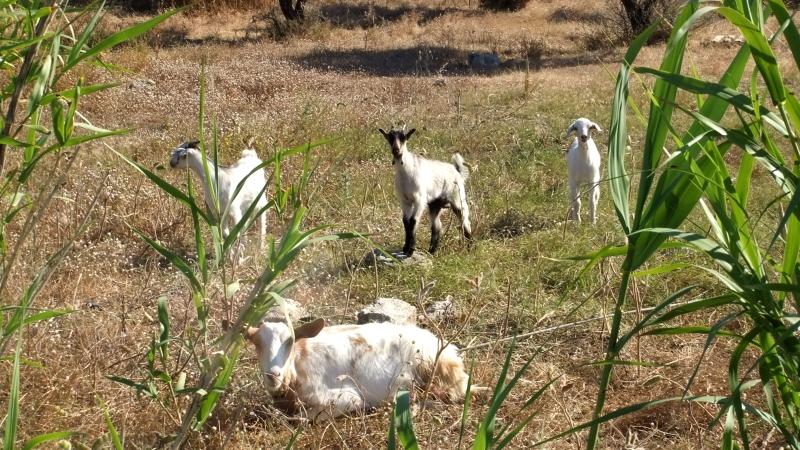Kos - Goats. Kardamena