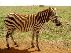 Kenya - National Park, zebra
