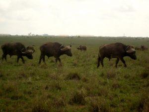 Kenya - National Park, buffalo