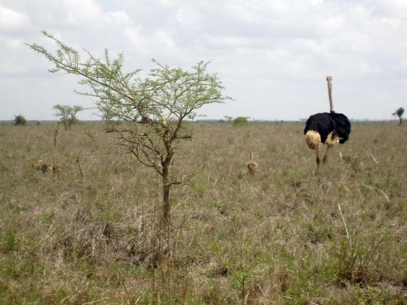Kenya - National Park, ostrich