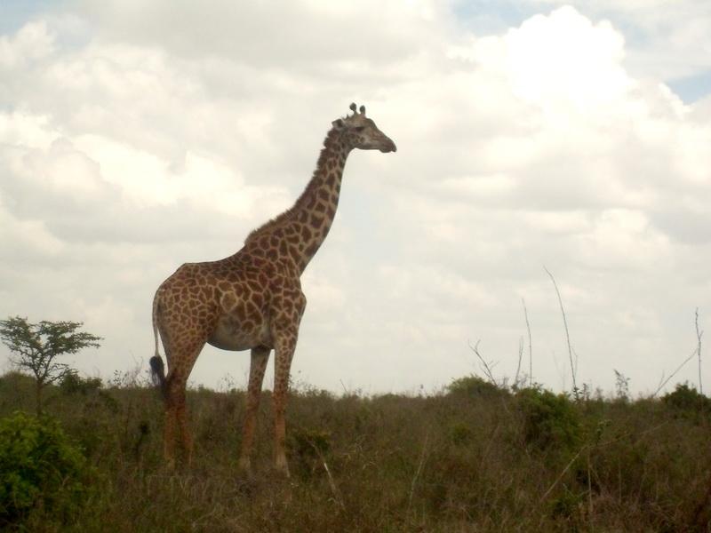 Kenya - National Park, giraffe